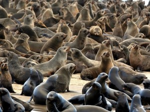 cape_fur_seal