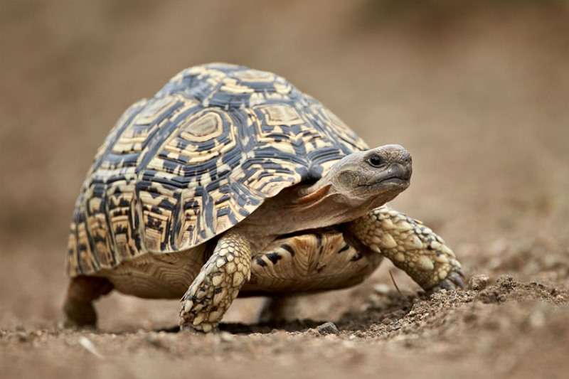 10 interesting facts about leopard tortoise