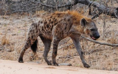10 facts about Hyenas